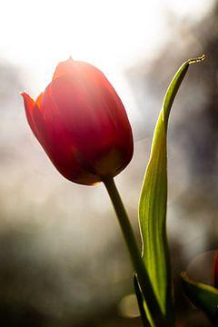 Happy Tulip van Vliner Flowers