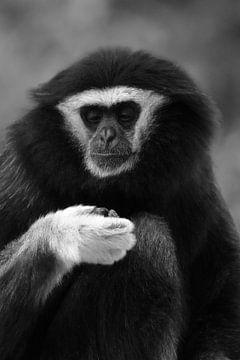 Gibbon aap sur Sascha van Dam