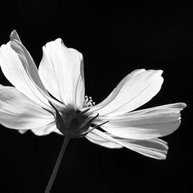 Cosmea in zwart wit van bird bee flower and tree