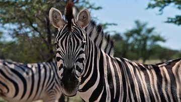 Gestreepte zebra in Etosha van Timon Schneider