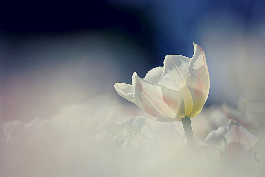 tulip heaven  van Els Fonteine