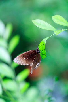 vlinder  van Krijn de Haas