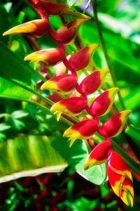 Tropische Heliconia