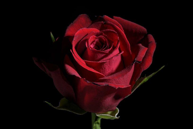Fleur de rose rouge foncé sur fond noir avec espace de copie, symbole d'amour traditionnel, focus sé sur Maren Winter