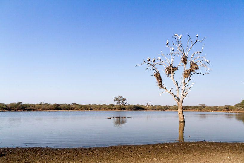 Ooievaars met nesten in boom van Jan van Kemenade