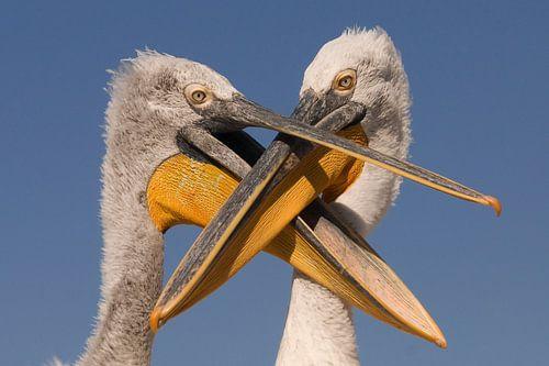 Dalmatian Pelicans von Beschermingswerk voor aan uw muur