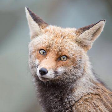 Portretje van een verlegen vosje van