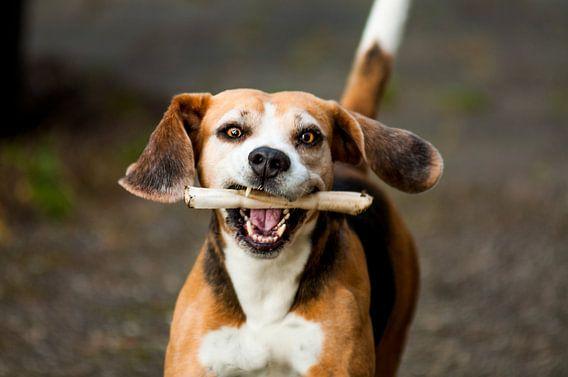 Een Blije Beagle van Dennis Timmer