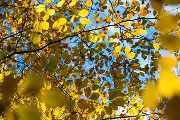 Herfstbladeren tegen een blauwe lucht, Engeland van Nature in Stock