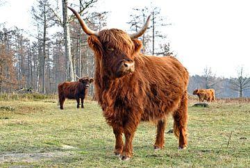 Schotse hooglanders van Judith Cool