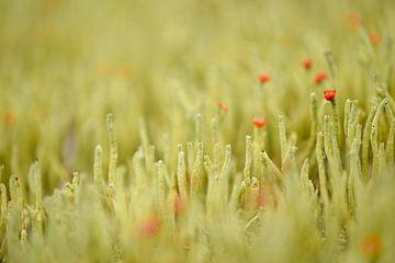 Rotschnabelmoos (Cladonia) von Johanna Kool