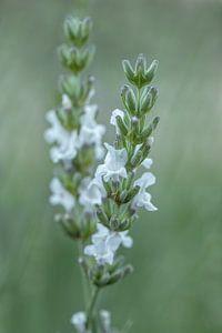 Lavandula angustifolia wit van