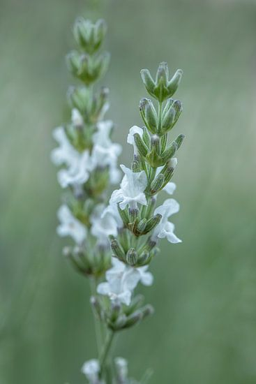 Lavandula angustifolia wit