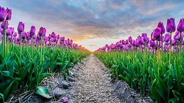 ondergaande zon boven de tulpenvelden 04 van Arjen Schippers