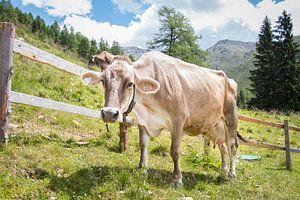 Prachtige, sterke koe in Tirol, Oostenrijk. van