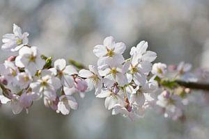 Voorjaarsbloesem van