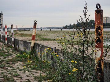 Wilde bloemen langs Scheldekaaien, Antwerpen van Marc Pennartz