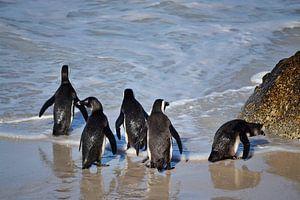 Pinguins naar zee