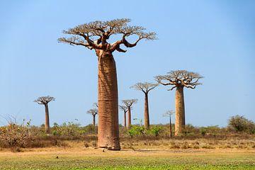 Baobab bomen Madagaskar von Dennis van de Water