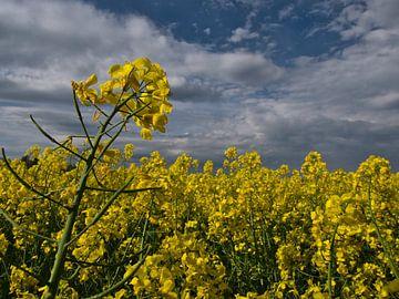 Nahaufnahme eines gelb blühenden Rapsfeldes im Frühling von Timon Schneider