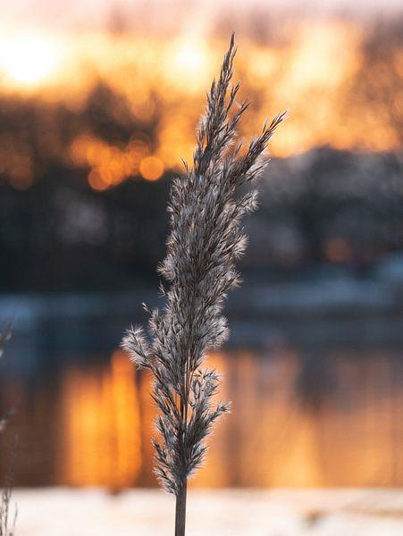 Riet pluim bij zonsondergang van Matthijs Noordeloos