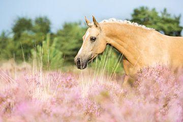Paard in de roze heide van