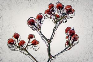 Ice Age - rozenbottels bewaard in ijs van