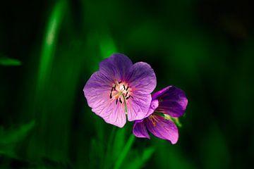 Violett in Blüte von Michael van Eijk