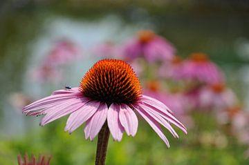 Bloem van de Echinacea purpurea von Peter Mooij