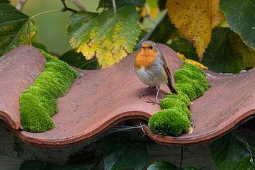 Robin auf Dachziegeln von Alain Gysels