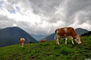 koeien Oostenrijk van CreaBrig Fotografie