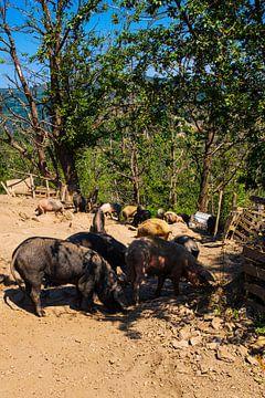Schweine auf Korsika von Youri Mahieu