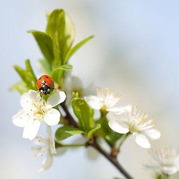 Lieveheersbeestje op bloesem van Wim de Lange