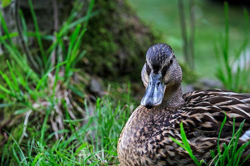 Ente im Gras von Borg Enders