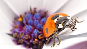 lieveheersbeestje op spaanse margriet macro van