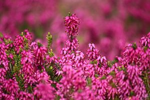 springtime! ... pink, pinker, pinkest I