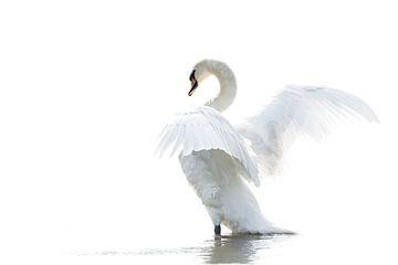 Wilde witte zwaan in high key van Albert Beukhof