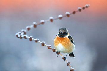 Wintering male European Stonechat (Saxicola rubicola) von AGAMI Photo Agency