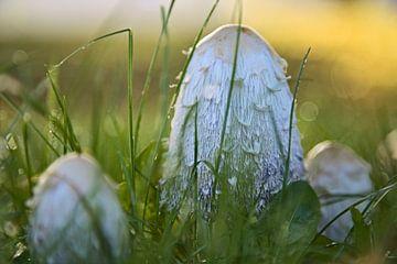paddenstoel van Matthijs Temminck