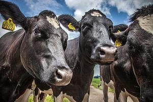 3 nieuwsgierige koeien