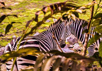 Zebra's / Des zébres van melissa demeunier