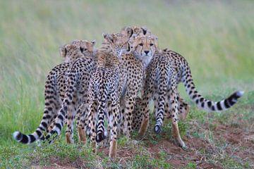 Roedel jachtluipaarden in Masai Mara, Kenia van Peter van der Horst