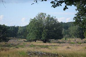 boom in het heideveld van Jeroen Franssen