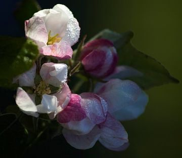 Appelbloesem van Michael Krawietz