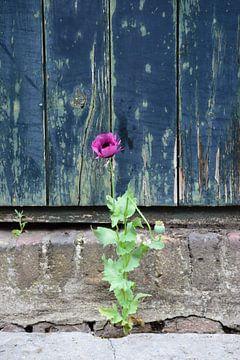 Mohn in der Nähe einer alten Tür von Ingrid de Vos - Boom