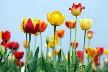 gele tulpen sur Renate Knapp