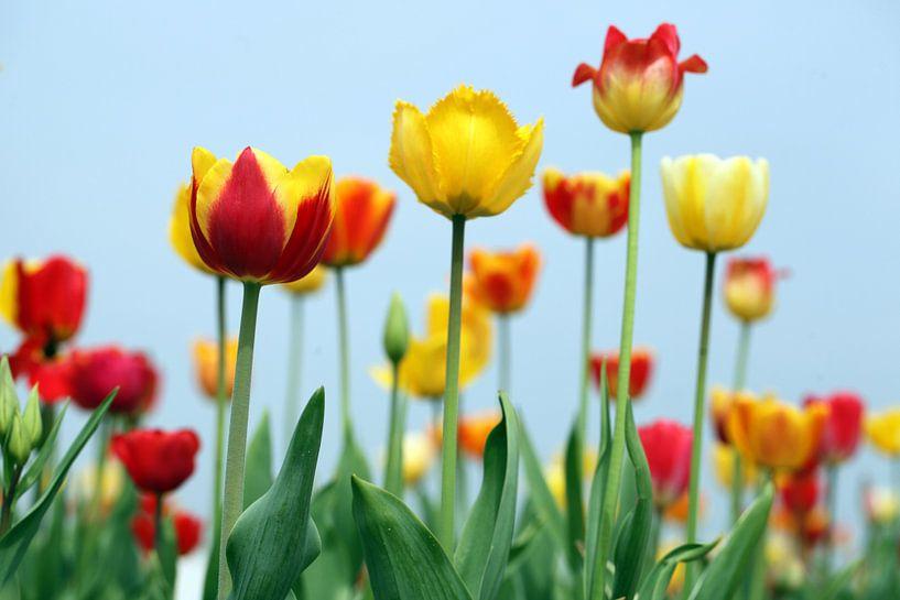 gele tulpen van Renate Knapp