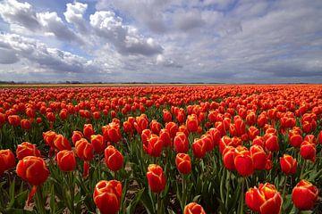 Tulpen veld in de Noordoost Polder van Frouwkje Fotografie