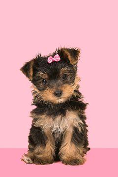 Yorkshire-Terrier-Welpe in rosa von Elles Rijsdijk