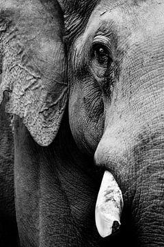 Schwarz-weißes Gesicht eines Elefanten mit Stoßzahn von Michael Semenov